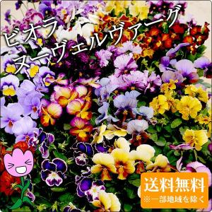 ビオラ ヌーヴェルヴァーグMIX 6苗セット 送料無料 アンティークな花色の超絶レアな品種 ヌーベル...