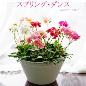 鉢花 寄せ植え スプリング・ダンス レウイシア MIX 送料無料 贈りものにも 自分用にも 毎年咲く
