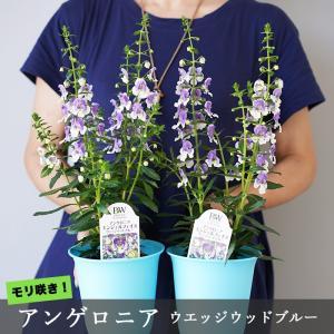 【2鉢セット】アンゲロニア ウエッジウッドブルー 真夏によく咲く元気なお花です 8号鉢に2株目安|gekihana