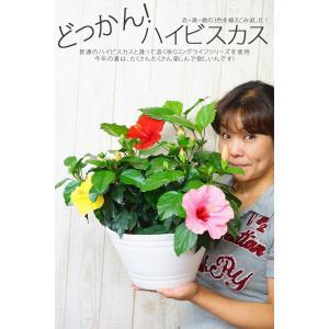 ハイビスカス 3色植え(お任せ鉢植え)送料無料  9号鉢  プレゼント ギフト 苗 花 夏 室内 屋外 窓際|gekihana