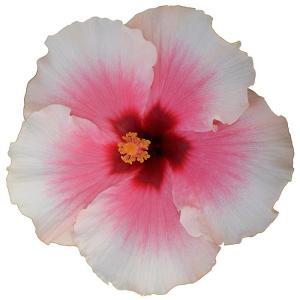 送料無料 よく咲く長く咲くハイビスカス 鉢植え 5号鉢 グレイス 1鉢 同梱4鉢まで対応中! ヒビスカス【take】|gekihana
