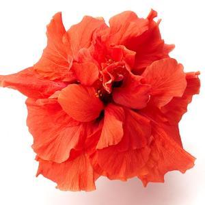 送料無料 よく咲く長く咲くハイビスカス 鉢植え 5号鉢 アドニス ダブルオレンジ 八重 1鉢 同梱4鉢まで対応中! ヒビスカス【take】|gekihana