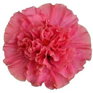 送料無料 よく咲く長く咲くハイビスカス 鉢植え 5号鉢 アドニス ダブルピンク 八重 1鉢 同梱4鉢まで対応中! ヒビスカス【take】|gekihana