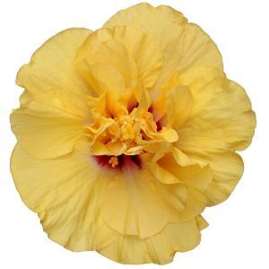 送料無料 よく咲く長く咲くハイビスカス 鉢植え 5号鉢 アドニス ダブルイエロー 八重 1鉢 同梱4鉢まで対応中! ヒビスカス【take】|gekihana