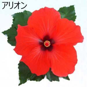 ハイビスカス 鉢植え 5号鉢 アリオン 送料無料 長く咲く 同梱4鉢まで対応中 ヒビスカス【take】|gekihana