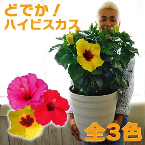 受注生産 どでか!ハイビスカス 全3色 大迫力です なんと10号(30センチ)の大鉢大株 送料無料 ヒビカス|gekihana