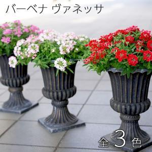 送料無料 宿根バーベナ ヴァネッサ 全3色!贅沢スタンド鉢仕立て  酷暑に強くて毎年咲いちゃう!|gekihana