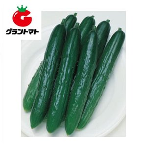 北進きゅうり 350粒 野菜種子【キュウリ キューリ】【取寄商品】 grantomato