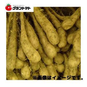 とっくり芋(自然薯)種子 800g 長いも|grantomato