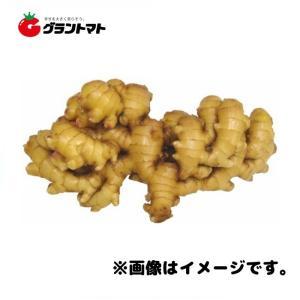 三州生姜種子 600g 中型しょうが|grantomato