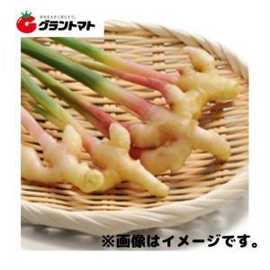金時生姜種子 500g 小型しょうが|grantomato
