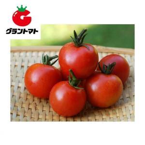レッドオーレトマト 1000粒 野菜種子【とまと】【取寄商品】 grantomato