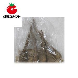 短径自然薯(じねんじょ) 5本いり ヤマノイモ種子【300〜400g】|grantomato
