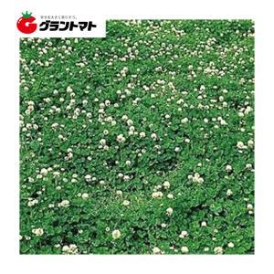 しろクローバー種子 フィア(Rh) 500g【取寄商品】【ゆうパケット可】 grantomato