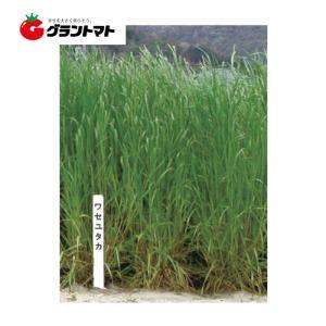 ワセユタカ イタリアンライグラス種子 1kg【取寄商品】 grantomato