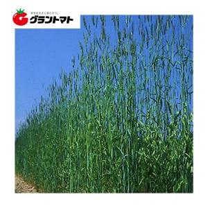 キングライ麦 1kg らい麦種子 【取寄商品】 grantomato