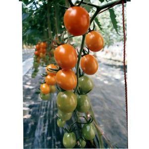 ピッコラ カナリアは、高糖度ミニトマト品種です。 濃いオレンジ色のミニトマトです。 やや長めの形のミ...