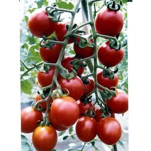 ピッコラルージュは、濃厚な味わいが特徴のミニトマト品種です。  高糖濃度ミニトマトです。 果肉がしっ...