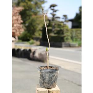 アジサイ 10.5cmポット 1本 1年間枯れ保証 春に花が咲く木