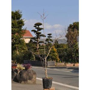 ウメモドキ 0.5m10.5cmポット 1本 1年間枯れ保証 葉や形を楽しむ木