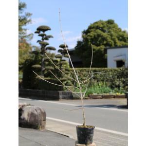 ガマズミ 0.3m10.5cmポット 1本 1年間枯れ保証 葉や形を楽しむ木