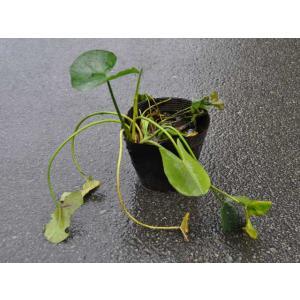 【1年間枯れ保証】【水生植物】コウホネ 12cmポット 3本セット 送料無料 【あすつく対応】