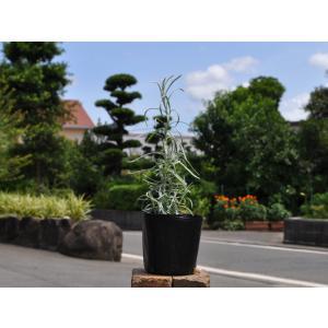 【カレープラント】() 読み:かれーぷらんと 学名:Helichrysum italicum キク科...