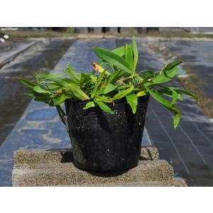 【カワラナデシコ】(河原撫子) 読み:かわらなでしこ 学名:Dianthus superbus L....