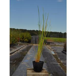 【1年間枯れ保証】【水生植物】ヒメガマ 10.5cmポット 【あすつく対応】