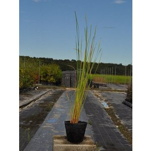 【1年間枯れ保証】【水生植物】ヒメガマ 10.5cmポット 15本セット 送料無料 【あすつく対応】