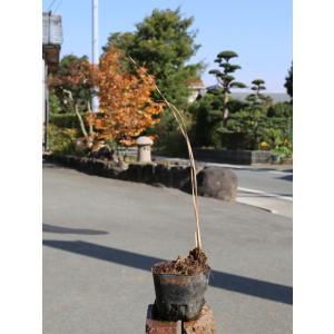 【1年間枯れ保証】【水生植物】カンガレイ 9.0cmポット 【あすつく対応】