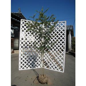 シマトネリコ株立ち 1.5m露地 1本 1年間枯れ保証 シンボルツリー常緑