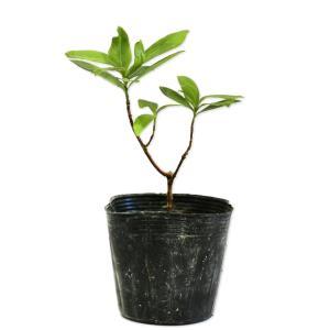 ジンチョウゲ 10.5cmポット 1本 1年間枯れ保証 春に花が咲く木