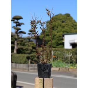 【シモツケ】 読み:しもつけ 学名:Spiraea Japonica バラ科シモツケ属 落葉低木  ...