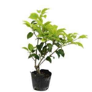 ソヨゴ 0.3m10.5cmポット 1本【1年間枯れ保証】【葉や形を楽しむ木】
