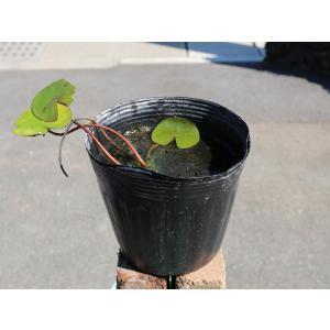 【1年間枯れ保証】【水生植物】温帯スイレン/ホランディア(淡ピンク) 15cmポット 【あすつく対応】