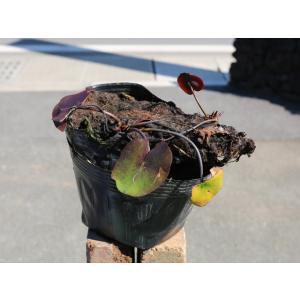 【1年間枯れ保証】【水生植物】温帯スイレン/ローズアレー(濃ピンク) 15cmポット 【あすつく対応】