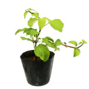 【ツルアジサイ】 読み:つるあじさい 学名: Hydrangea petiolaris ユキノシタ科...