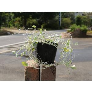 ディコンドラ シルバーフォール 9.0cmポット 1本 1年間枯れ保証 下草
