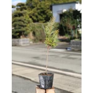 ニッコウヒバ 0.2m10.5cmポット 1本 1年間枯れ保証 生垣樹木