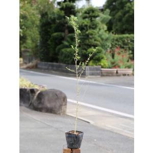 【1年間枯れ保証】【生垣樹木】プリペット 0.7m10.5cmポット 【あすつく対応】