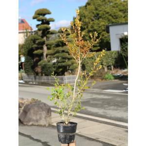 【1年間枯れ保証】【生垣樹木】ボックスウッド 0.6m15cmポット 【あすつく対応】