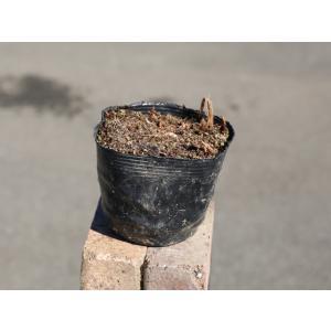 【1年間枯れ保証】【水生植物】ハンゲショウ 〜cmポット 【あすつく対応】