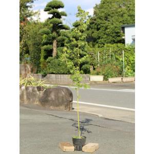 イロハモミジ 1.0m15cmポット 1本 1年間枯れ保証 紅葉が美しい木