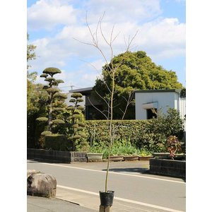 【1年間枯れ保証】【紅葉が美しい木】イロハモミジ 1.7m1...