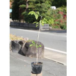 マユミ 0.5m10.5cmポット 1本 1年間枯れ保証 葉や形を楽しむ木