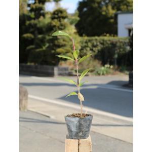 レッドロビン 0.2m10.5cmポット 1本 1年間枯れ保証 生垣樹木の画像