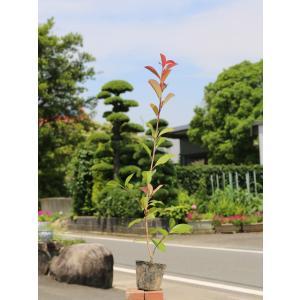 【1年間枯れ保証】【生垣樹木】レッドロビン 0.7m10.5cmポット 【あすつく対応】