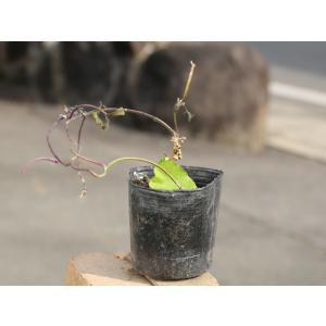 リュウキュウアサガオ 9.0cmポット 1本 1年間枯れ保証 つる性