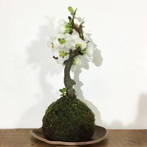 苔玉 ボケ(放春花)のコケダマ green-very